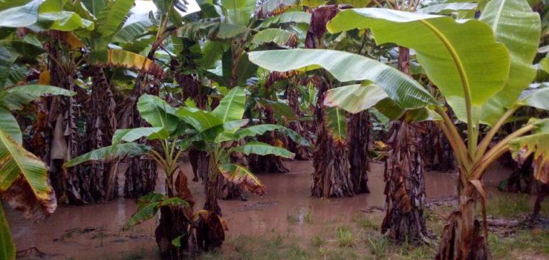 Selva Central: Omiasec alerta pérdidas de cultivos por el desborde del río Perené
